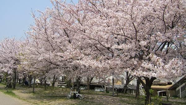 神津大橋の土手上のサクラ 上のサクラは、猪名川土手を北上し、伊丹市内に入ったところ神津大橋の土手